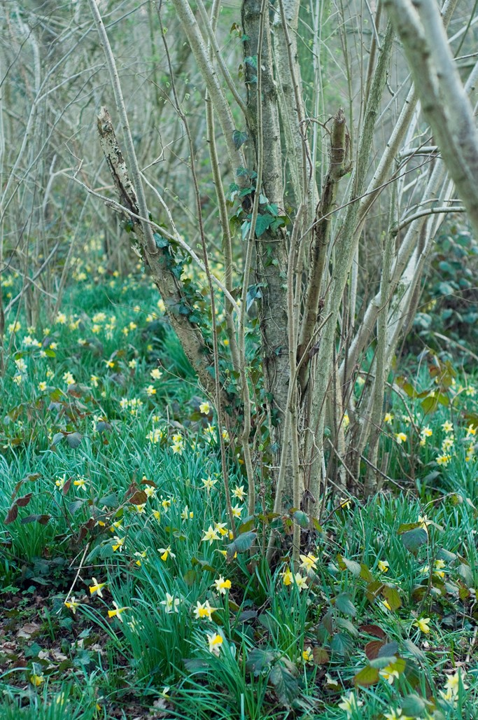 Jonquilles foret blog lifestyle Alexiane